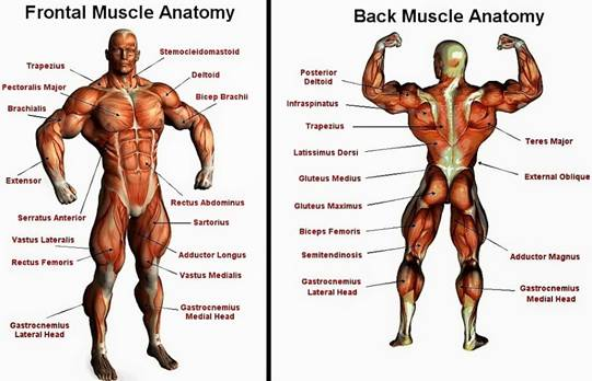 Infographic : Human Muscular Anatomy