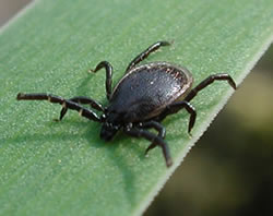 Ticks Spread Red Meat Allergy
