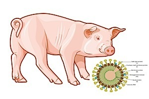 Fourth Canadian farm hit by pig killing virus