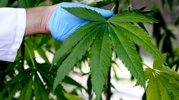 Cannabis extracts can slow growth of brain cancer tumours