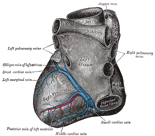 The Anatomy of Coronary sinus