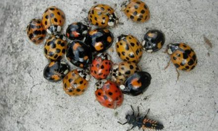 Swarms of black-winged ladybirds are bringing STDs to the UK